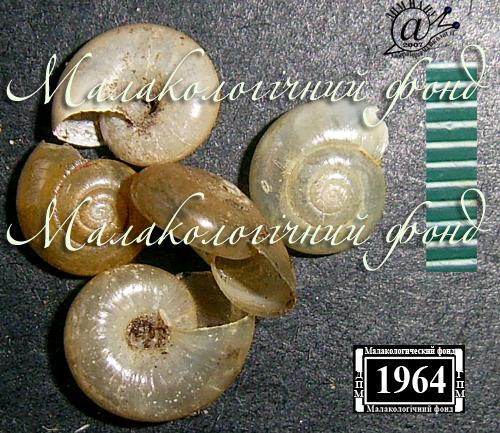 Aegopinella nitens. Фотография 7