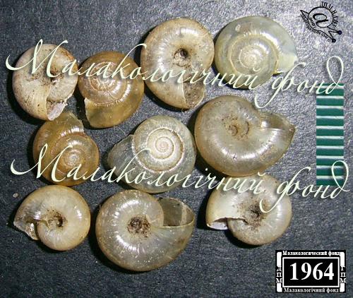 Aegopinella nitens. Фотография 5