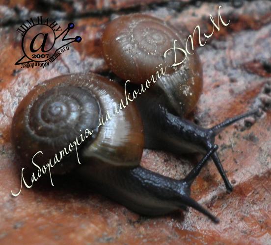 Aegopinella nitidula. Фотография 5