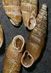 A. stabilis. Фотография 6