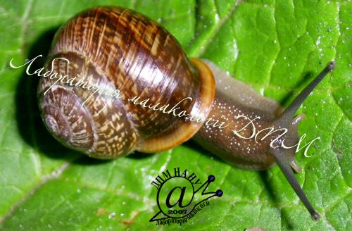 Arianta arbustorum. Фотография 12