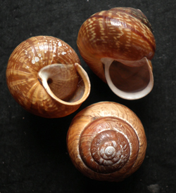 A. arbustorum. Фотография 11