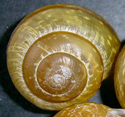 A. arbustorum. Фотография 25