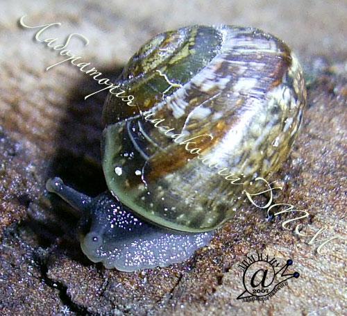 Arianta arbustorum. Фотография 14