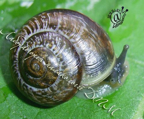 Arianta arbustorum. Фотография 18