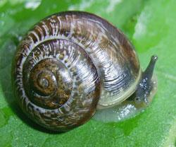 A. arbustorum. Фотография 19