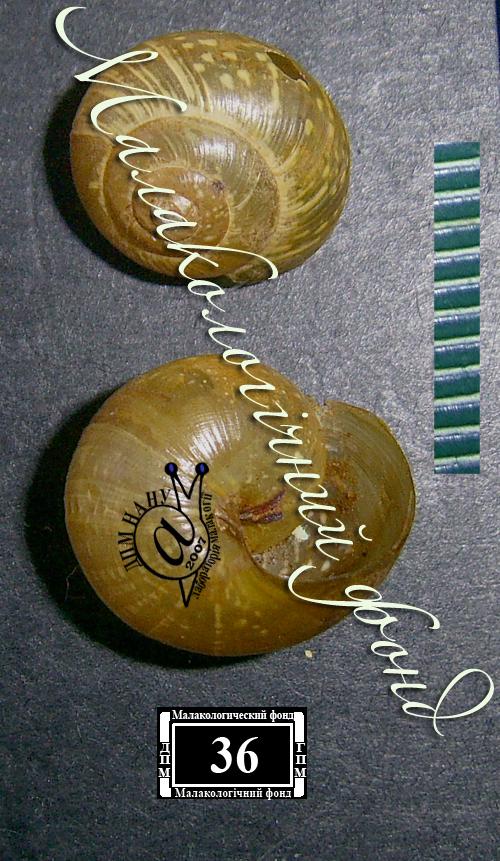 Arianta arbustorum. Фотография 20