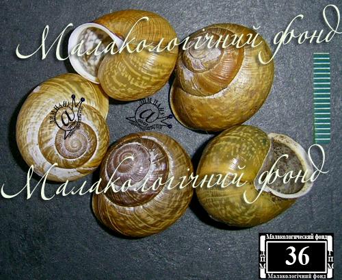Arianta arbustorum. Фотография 22