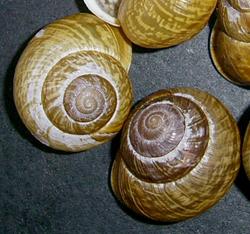 A. arbustorum. Фотография 23