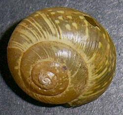 A. arbustorum. Фотография 21