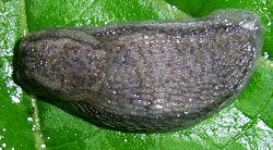 A. circumscriptus. Фотография 6