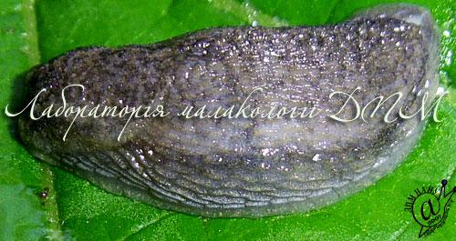 Arion circumscriptus. Фотография 8