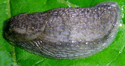 A. circumscriptus. Фотография 9