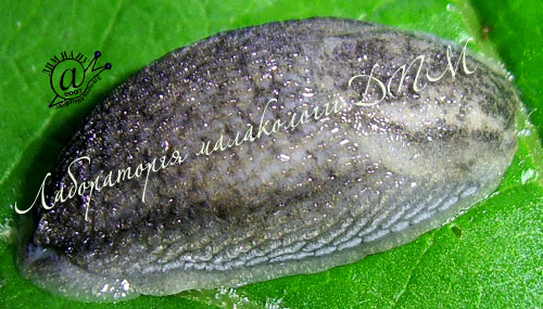 Arion circumscriptus. Фотография 10
