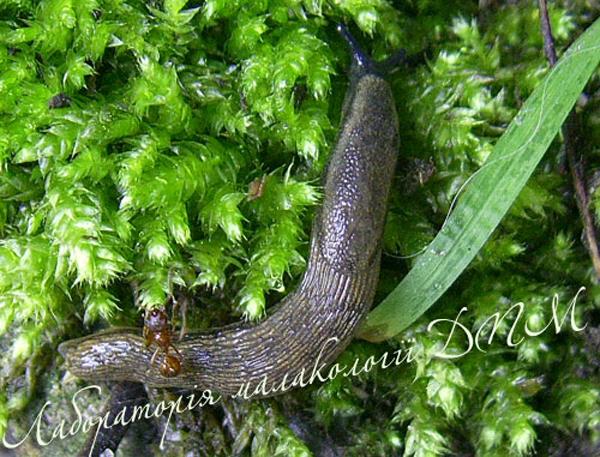 Arion distinctus. Фотография 12