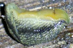 A. distinctus. Фотография 6