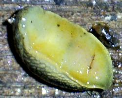 A. distinctus. Фотография 9