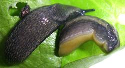 A. distinctus. Фотография 11