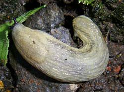 Arion fasciatus (Nilsson, 1823)
