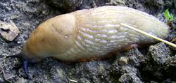 Моллюск октября среди наземных моллюсков - Arion lusitanicus Mabille, 1868 (2020 г.)