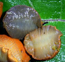 Моллюск сентября среди наземных моллюсков - Arion lusitanicus Mabille, 1868 (2020 г.)