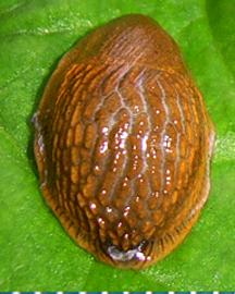 Моллюск ноября среди наземных моллюсков - Arion lusitanicus Mabille, 1868 (2020 г.)