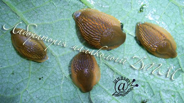 Arion lusitanicus. Фотография 60