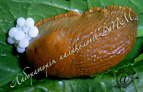Arion lusitanicus. Фотография 65