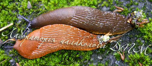 Arion lusitanicus. Фотография 35
