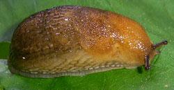 A. subfuscus. Фотография 11