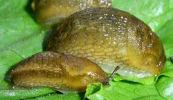 A. subfuscus. Фотография 13
