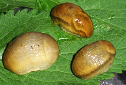 A. subfuscus. Фотография 7