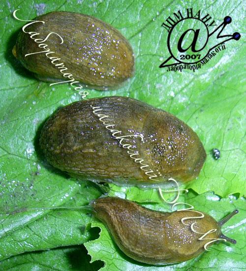 Arion subfuscus. Фотография 14