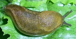A. subfuscus. Фотография 15