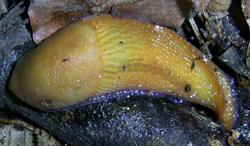 B. coerulans. Фотография 50