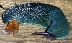 Молюск жовтня серед наземних молюсків - Bielzia coerulans (M.Bielz, 1851) (2017 р.)