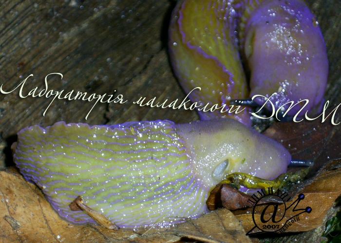 Bielzia coerulans. Фотография 24