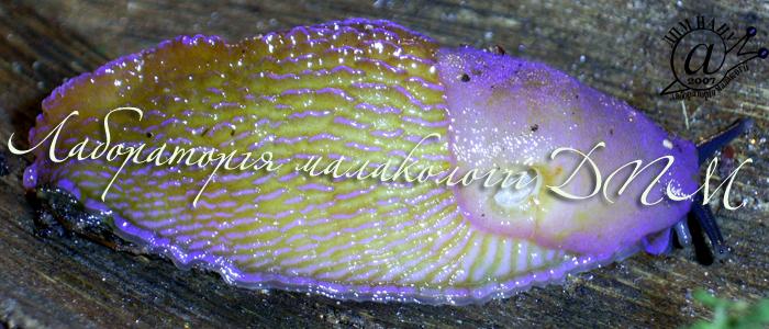 Bielzia coerulans. Фотография 26