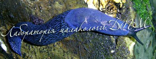 Bielzia coerulans. Фотография 30