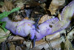 B. coerulans. Фотография 36
