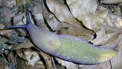 B. coerulans. Фотография 40