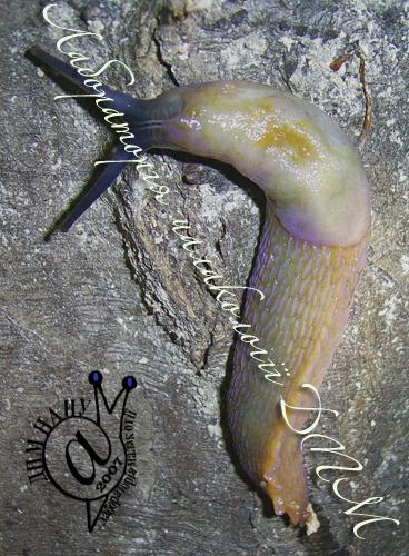Bielzia coerulans. Фотография 45