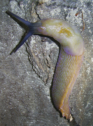 Bielzia coerulans. Фотография 46