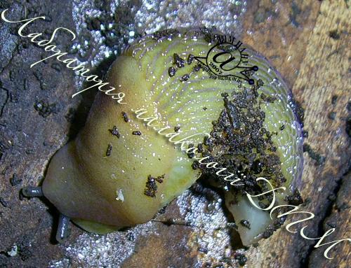 Bielzia coerulans. Фотография 47