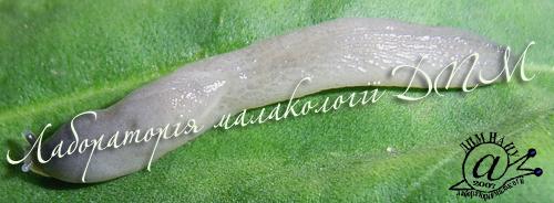 Boettgerilla pallens. Фотография 7