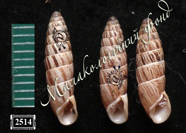 Brephulopsis bidens. Фотография 13