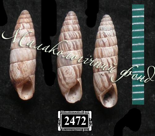 Brephulopsis bidens. Фотография 25