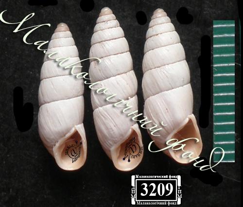 Brephulopsis bidens. Фотография 29