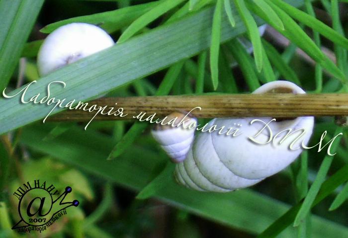 Brephulopsis cylindrica. Фотография 17