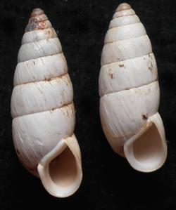 B. cylindrica. Фотография 28